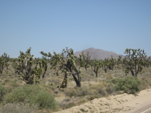 A sea of Joshua trees as far as the eye could see